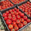 بذر گوجه 074