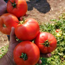 بذر گوجه ۰۷۴