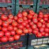 بذر گوجه CA 911