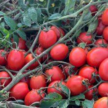 بذر گوجه Katrin